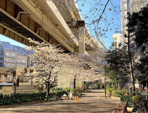 麻布十番ザ・タワーデンタル近くの桜咲く